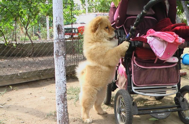 Chow Chow Puppies - 36 Pictures